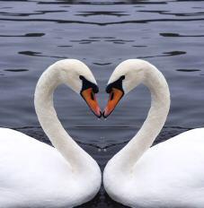 swan10web